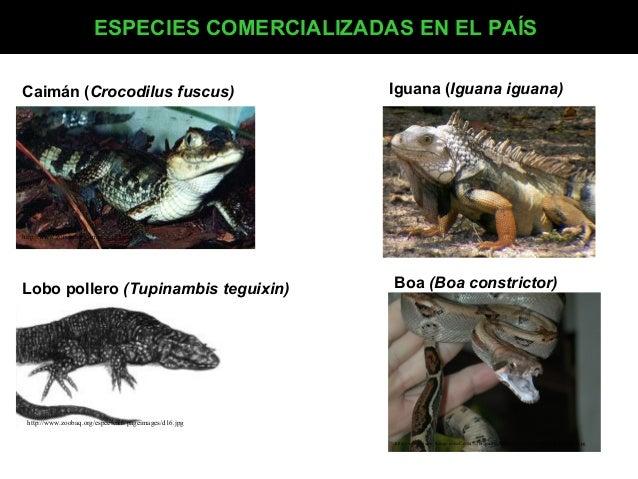 ESPECIES COMERCIALIZADAS EN EL PAÍS Caimán (Crocodilus fuscus)  Iguana (Iguana iguana)  http://www.zooclub.ru/images/353.j...