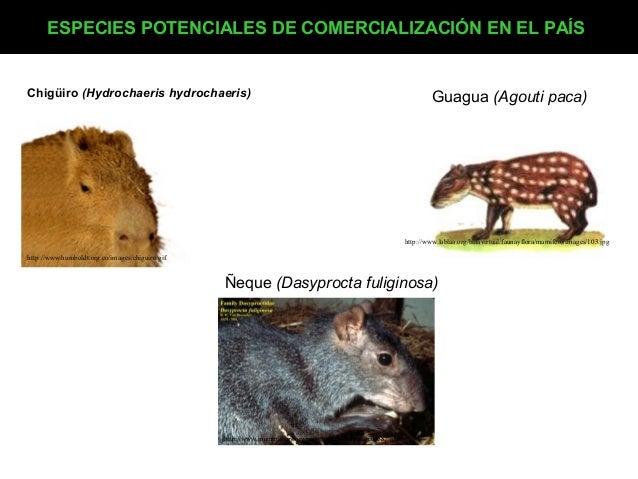 ESPECIES POTENCIALES DE COMERCIALIZACIÓN EN EL PAÍS  Chigüiro (Hydrochaeris hydrochaeris)  Guagua (Agouti paca)  http://ww...