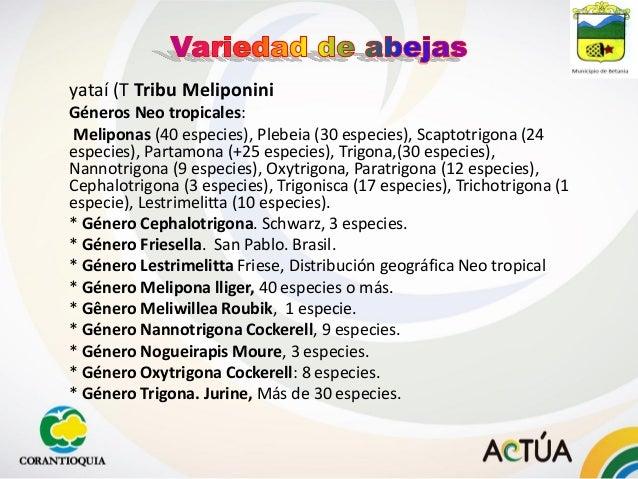 yataí (T Tribu Meliponini Géneros Neo tropicales: Meliponas (40 especies), Plebeia (30 especies), Scaptotrigona (24 especi...