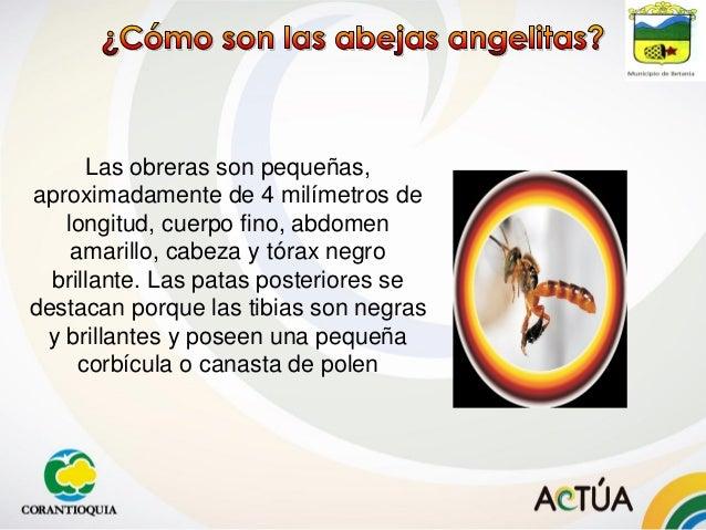 Las obreras son pequeñas, aproximadamente de 4 milímetros de longitud, cuerpo fino, abdomen amarillo, cabeza y tórax negro...