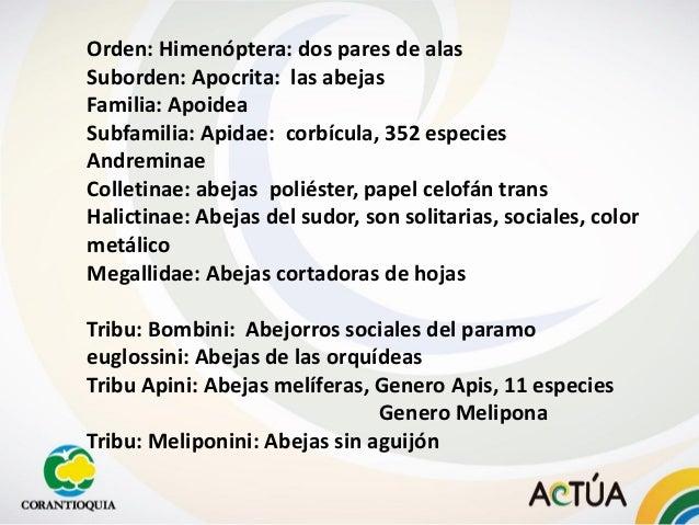 Orden: Himenóptera: dos pares de alas Suborden: Apocrita: las abejas Familia: Apoidea Subfamilia: Apidae: corbícula, 352 e...