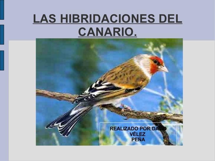 LAS HIBRIDACIONES DEL       CANARIO.          REALIZADO POR:DAVID                 VÉLEZ                  PEÑA