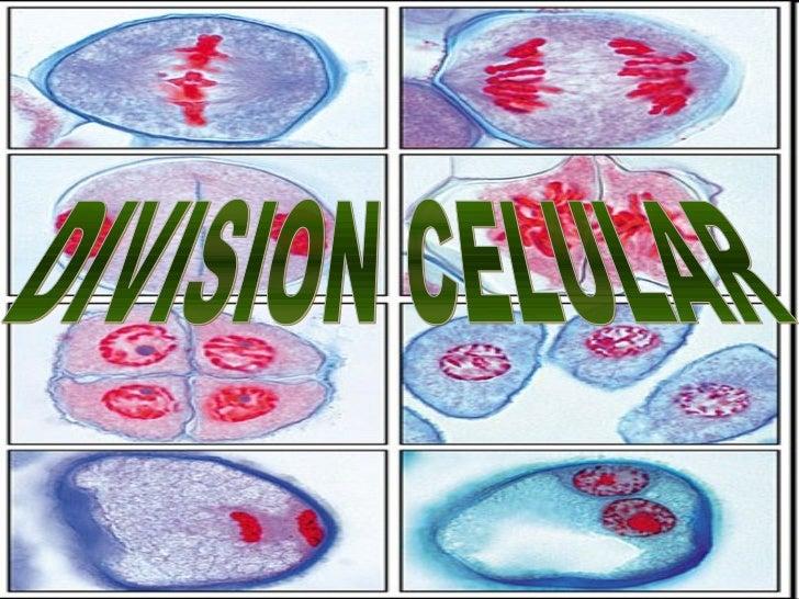 DEFINICIONESDEFINICIONES    Ciclo celular    Cromosomas       Mitosis     Citocinesis      Gametos       Cigoto      Meios...