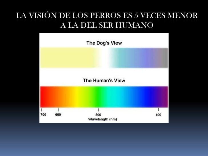 LA VISIÓN DE LOS PERROS ES 5 VECES MENOR           A LA DEL SER HUMANO