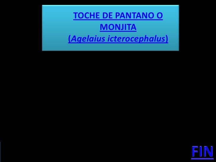 TOCHE DE PANTANO O         MONJITA (Agelaius icterocephalus)