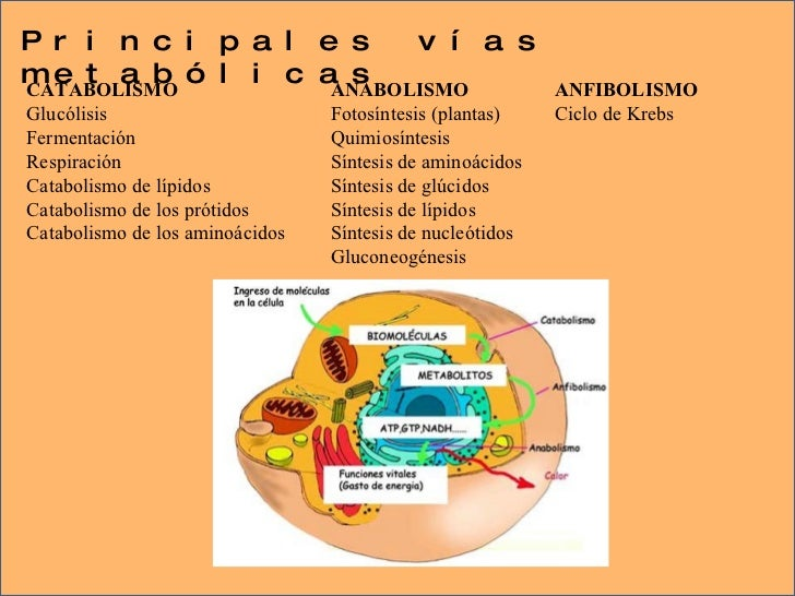 funciones anabolicas ejemplos