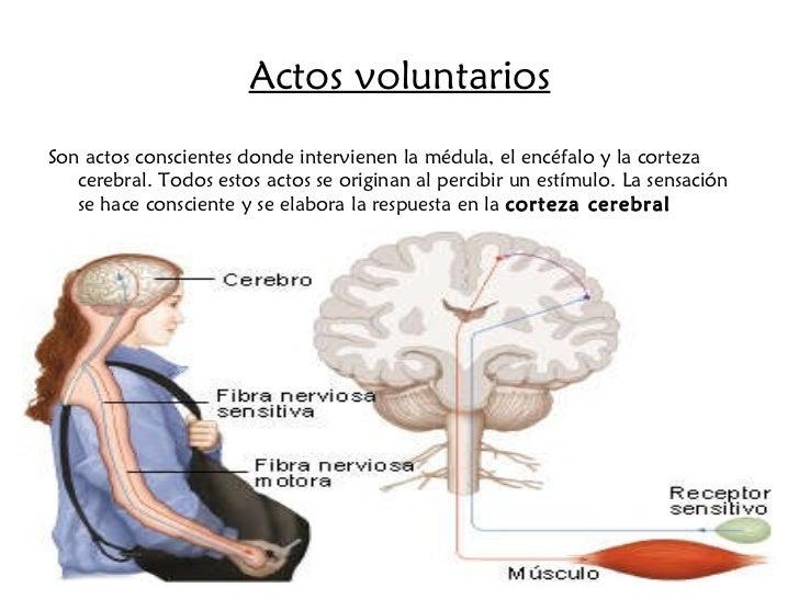 Actos voluntarios <ul><li>Son actos conscientes donde intervienen la médula, el encéfalo y la corteza cerebral. Todos esto...