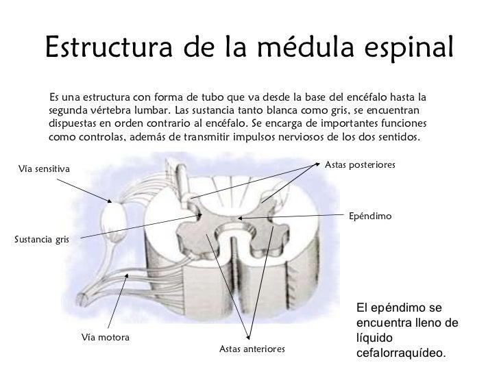 Estructura de la médula espinal <ul><li>Es una estructura con forma de tubo que va desde la base del encéfalo hasta la seg...