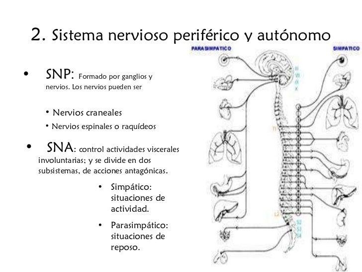 2.  Sistema nervioso periférico y autónomo <ul><li>SNP :  Formado por ganglios y nervios. Los nervios pueden ser </li></ul...