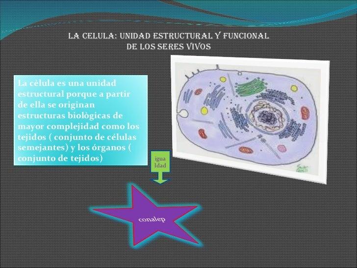 LA CELULA: UNIDAD ESTRUCTURAL Y FUNCIONAL DE LOS SERES VIVOS igualdad La cèlula es una unidad estructural porque a partir ...
