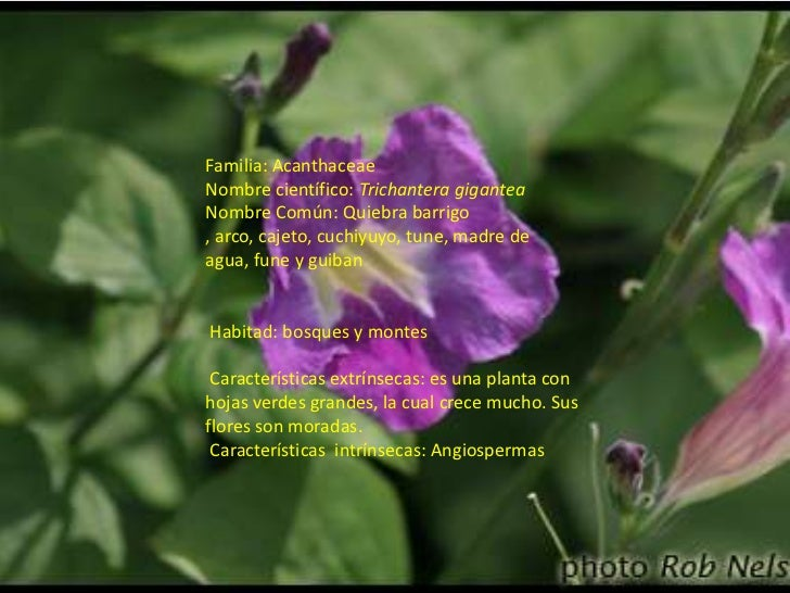 Familia: AcanthaceaeNombre científico:Trichantera gigantea Nombre Común: Quiebra barrigo, arco, cajeto, cuchiyuyo, tune, m...