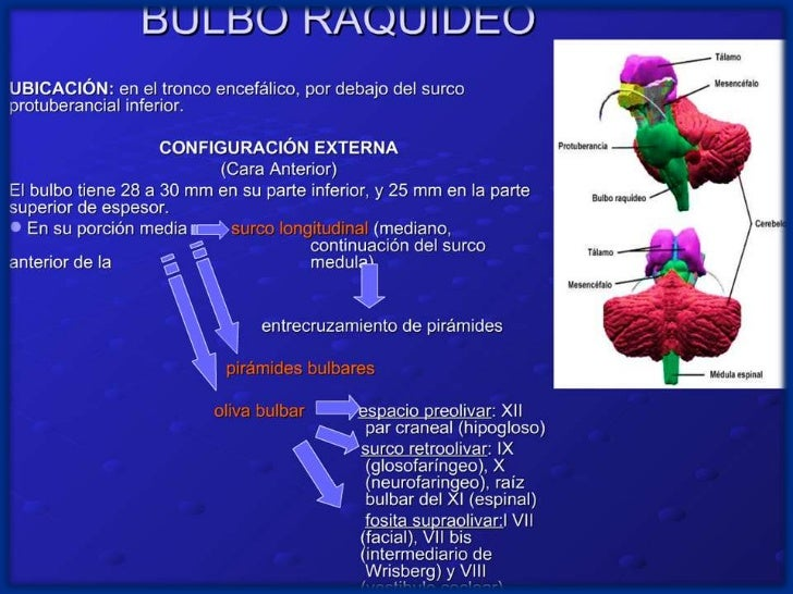 Bulbo Raquideo Y Protuberancia Anular