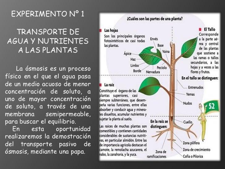 EXPERIMENTO Nº 1  TRANSPORTE DEAGUA Y NUTRIENTES  A LAS PLANTAS    La ósmosis es un procesofísico en el que el agua pasade...