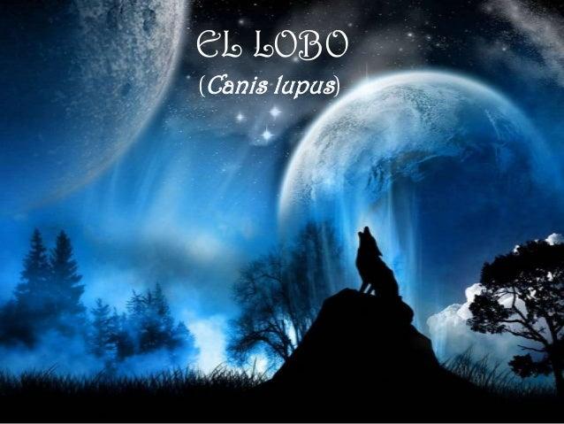 EL LOBO(Canis lupus)