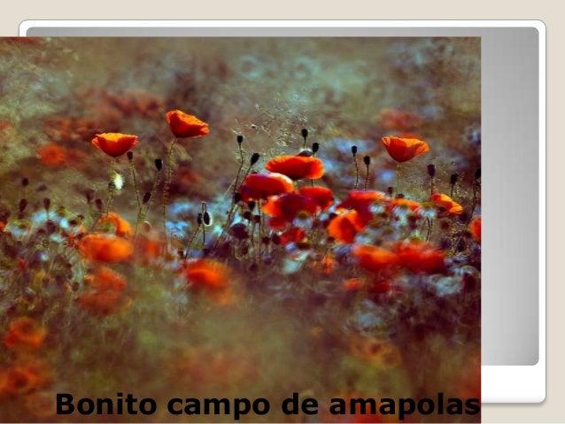 sBonito campo de amapolas
