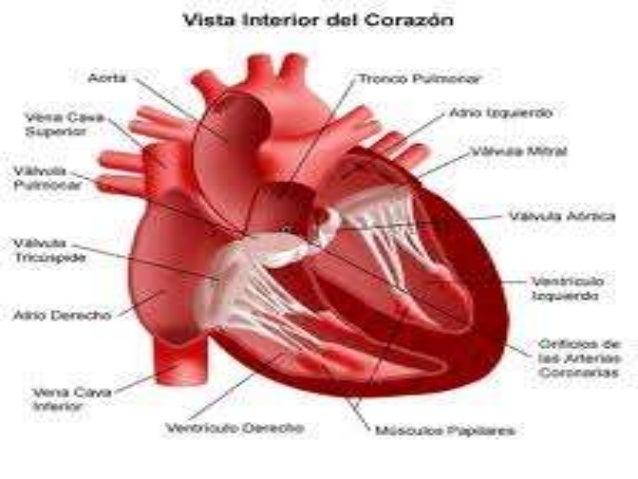 Imagenes del corazon por sandra salazar for Fotos del corazon