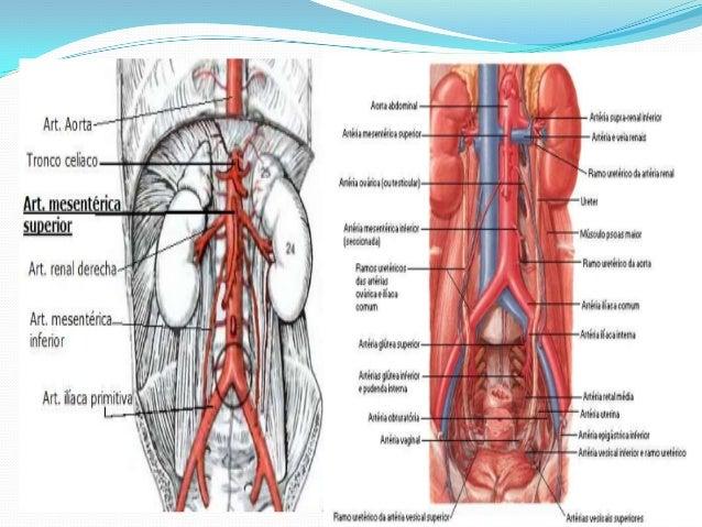 Arterias , Venas y Capilares