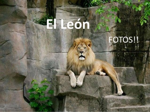 El León FOTOS!!