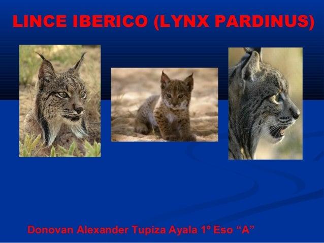 "LINCE IBERICO (LYNX PARDINUS) Donovan Alexander Tupiza Ayala 1º Eso ""A"""