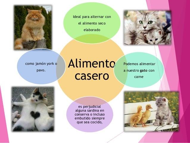 Cinco mejores razas del mundo Gato siamés Gato angora Gato persa Gato azul Gato bengala