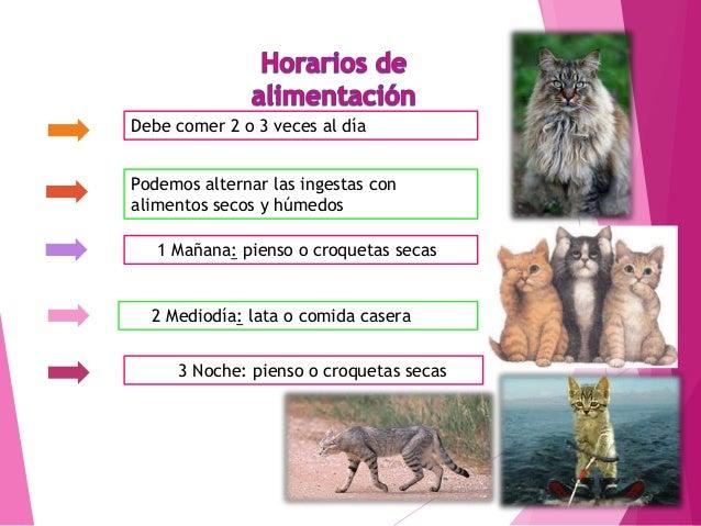 Gato siamés Originarios de Tailandia tienen un cuerpo largo y esbelto con una larga cola y una cabeza proporcionada con un...