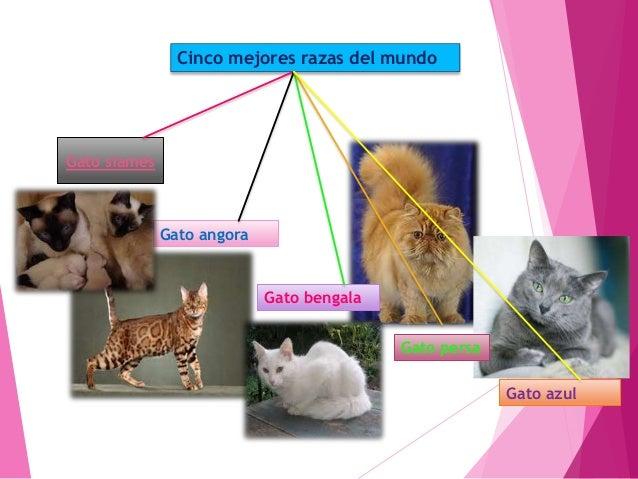 El gato de Angora proporciona equilibrio y ligereza. Tiene un carácter vital y juguetón Es muy inteligente, capaz de recon...