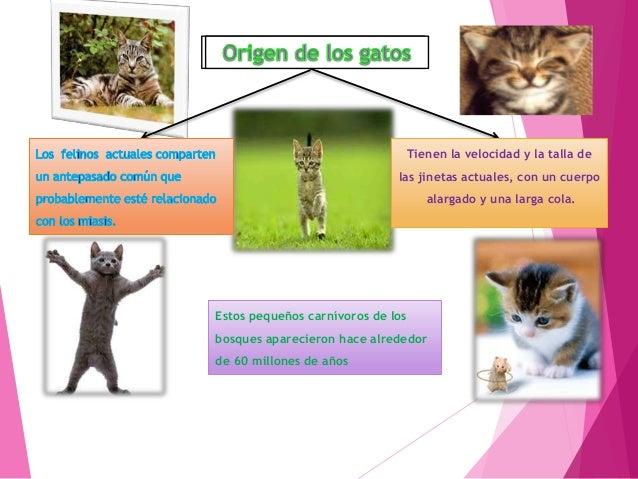 Los felinos Subfamilias Se dividen en dos nimravidae Felidae los descendientes de éste último, los pseudaelurus, se divers...