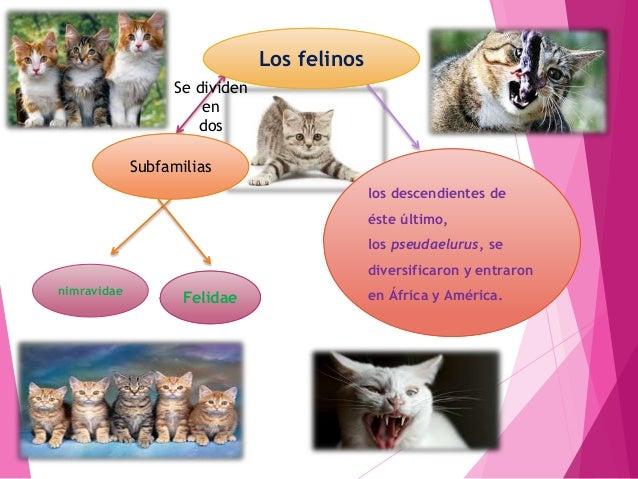 Es un animal pequeño, principalmente carnívoro (Felis catus), que pertenece a la familia de los Felinos como cazador de ra...
