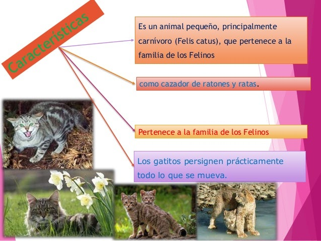 Los gatos son animales de compañía Son mascotas ´populares Hay muchas y numerosas razas Son flexibles Poseen garras con uñ...