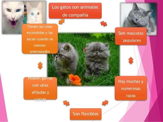 Los gatos son mamíferos Tienen un tamaño de 71 cm Son carnívoros y domésticos Pesan alrededor de 2,3y9 kg