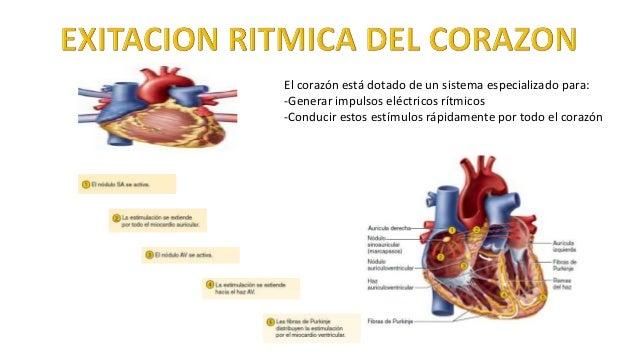 El corazón está dotado de un sistema especializado para: -Generar impulsos eléctricos rítmicos -Conducir estos estímulos r...