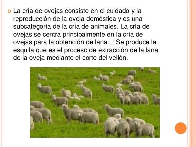 Circuito Productivo De La Lana : Circuito productivo del ganado ovino