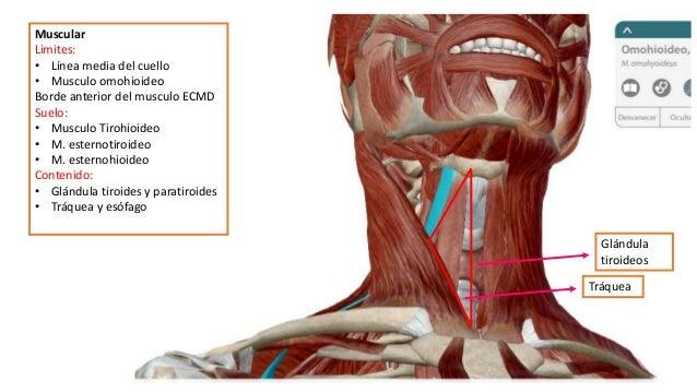 Tri ngulos del cuello for Esternohioideo y esternotiroideo