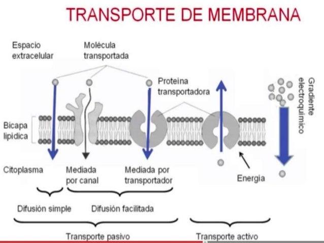 Mecanismo de transporte de fármacos a través de la