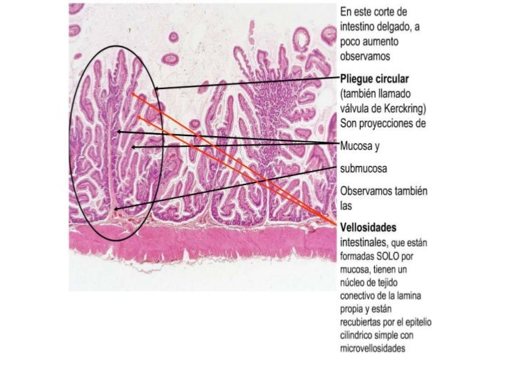 histología del intestino delgado