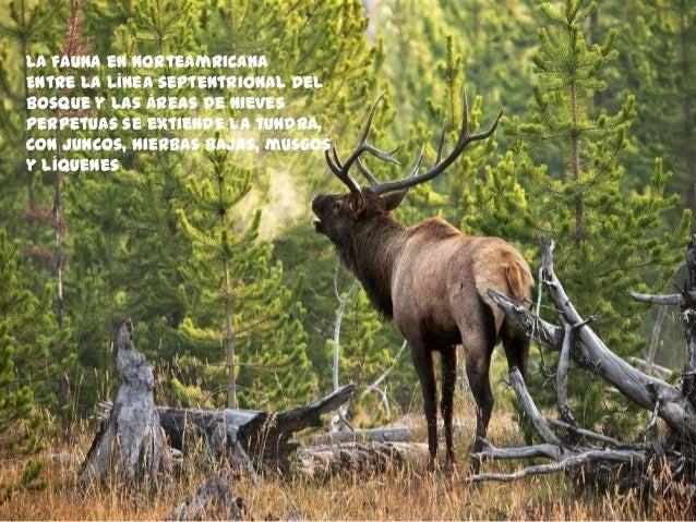 La fauna en Norteamricana Entre la línea septentrional del bosque y las áreas de nieves perpetuas se extiende la tundra, c...
