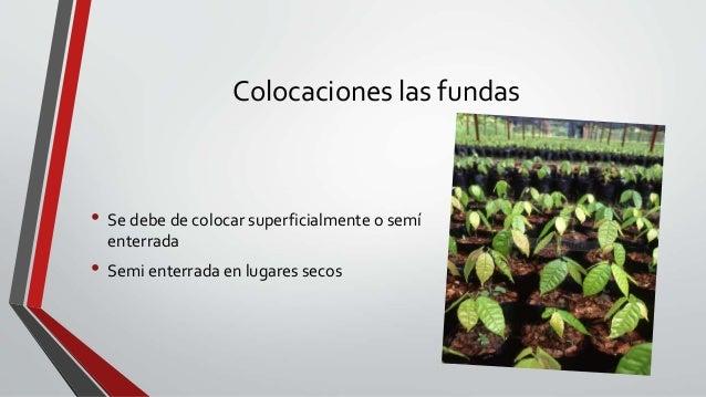 Las pl ntulas de caf en el vivero for Vivero de cafe pdf