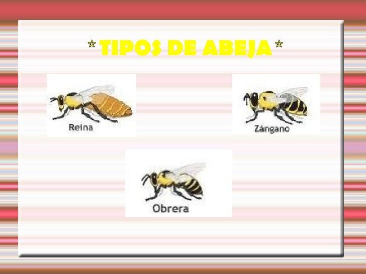 Solo hay una reina por colmena yes la madre de todas las abejas.Su única función es poner huevos.