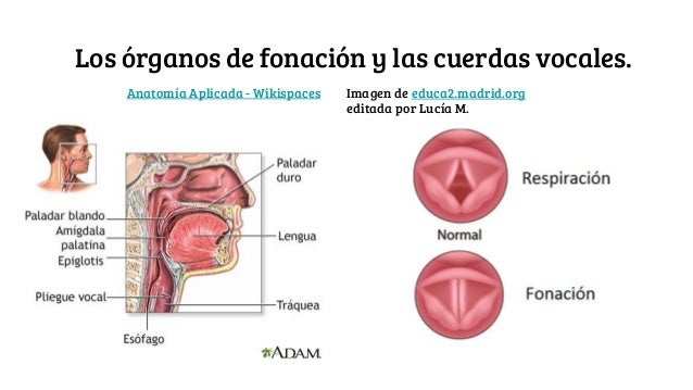 Aparato cardiovascular, sistema cardiopulmonar y aparato fonador