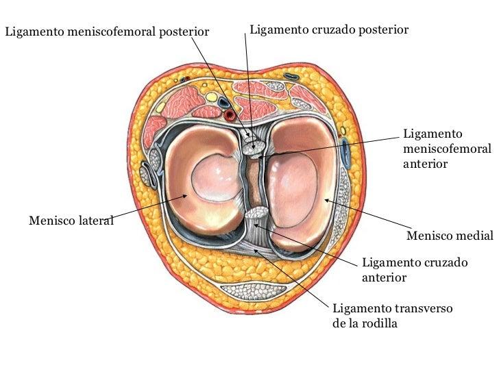 Perfecto Anatomía Ligamento Cruzado Ornamento - Anatomía de Las ...