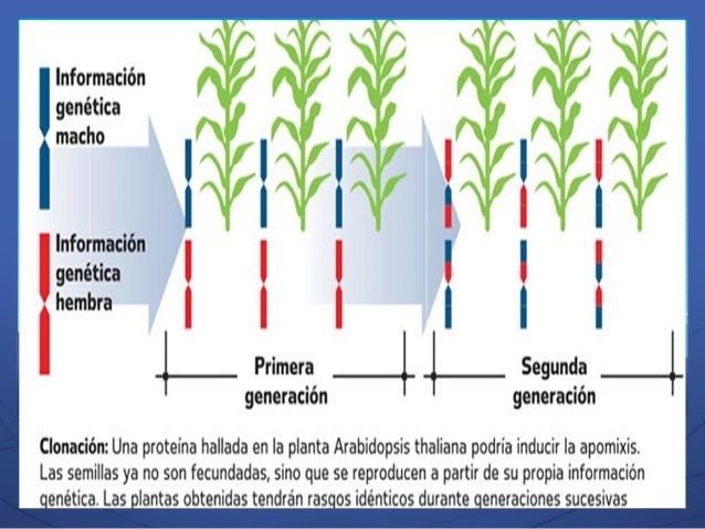 Reproduccion asexual apomixis plants