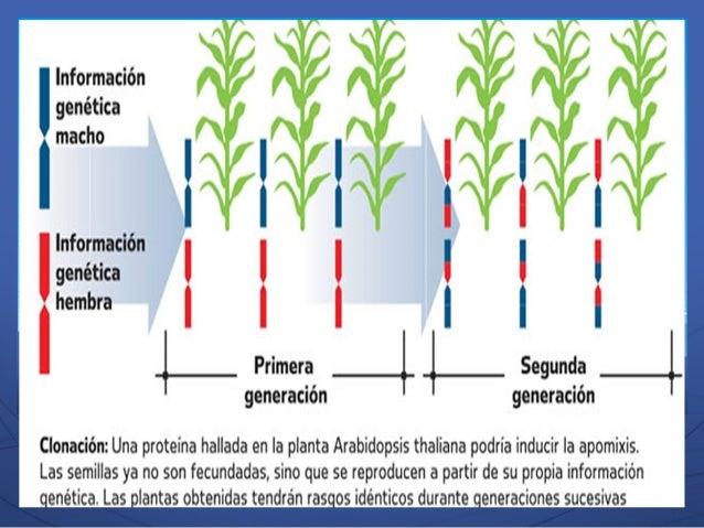 Reproduccion asexual apomixis plants