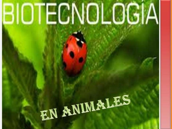 INTRODUCCION    EN Este trabajo HABLAREMOS DE LA  BIOTECNOLOGIA EN ANIMALES EN EL SEPUEDEN MODIFICAR ANIMALES PARA MUCHOSP...
