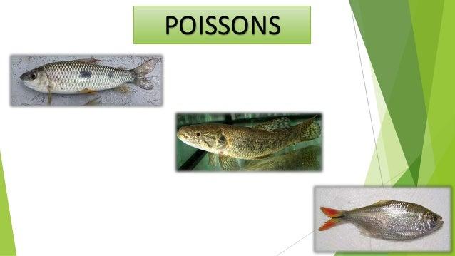 Les poissons sont les organismes aquatiques par excellence. deux grands assemblages de poissons comprennent la: Osteichthy...