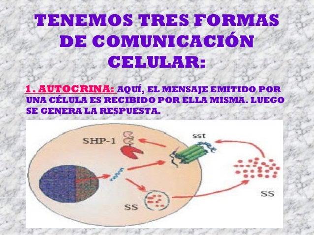 TENEMOS TRES FORMAS DE COMUNICACIÓN CELULAR: 1. AUTOCRINA: AQUÍ, EL MENSAJE EMITIDO POR UNA CÉLULA ES RECIBIDO POR ELLA MI...
