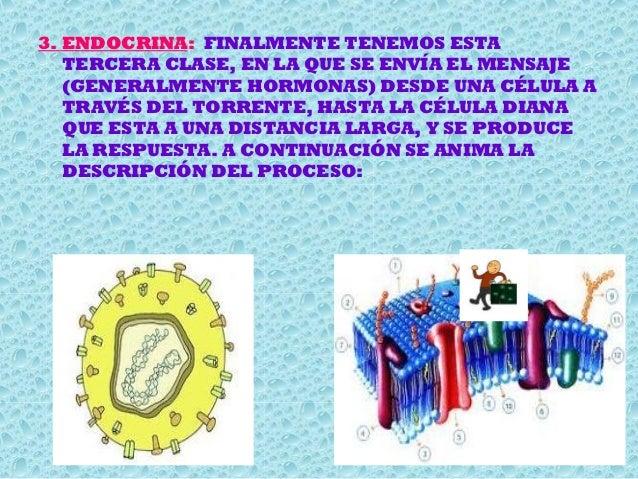 3. ENDOCRINA: FINALMENTE TENEMOS ESTA TERCERA CLASE, EN LA QUE SE ENVÍA EL MENSAJE (GENERALMENTE HORMONAS) DESDE UNA CÉLUL...