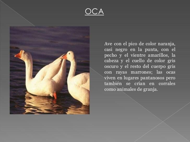 OCA      Ave con el pico de color naranja,      casi negro en la punta, con el      pecho y el vientre amarillos, la      ...