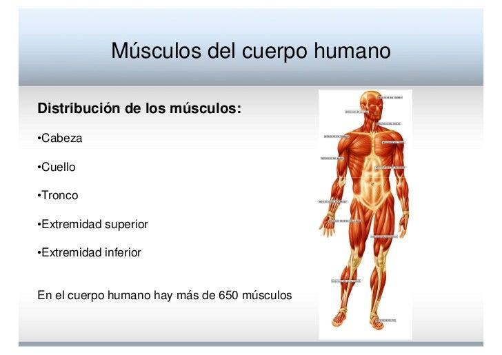 Fantástico Los Músculos Del Cuerpo Diagrama Rotulado Imágenes ...