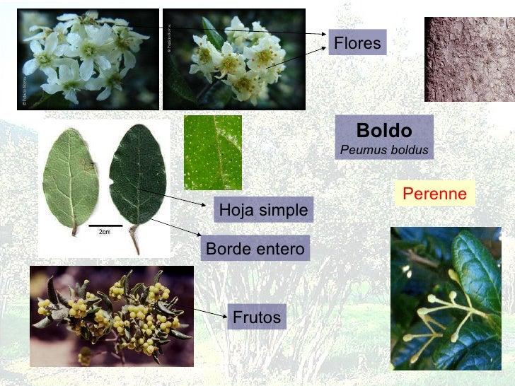 Boldo Peumus boldus Perenne Flores Hoja simple Borde entero Frutos