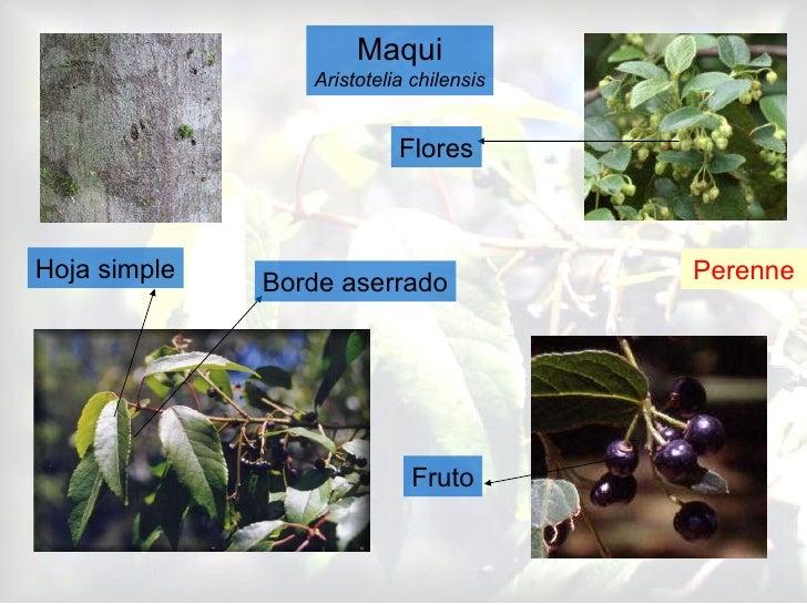 Maqui Aristotelia chilensis Perenne Hoja simple Borde aserrado Fruto Flores